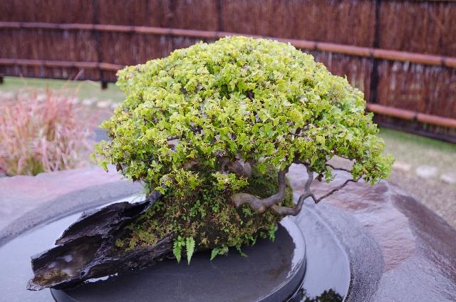 高価な盆栽