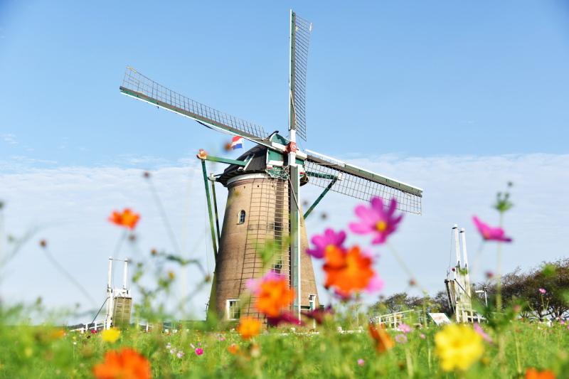 佐倉市のオランダ風車とコスモス