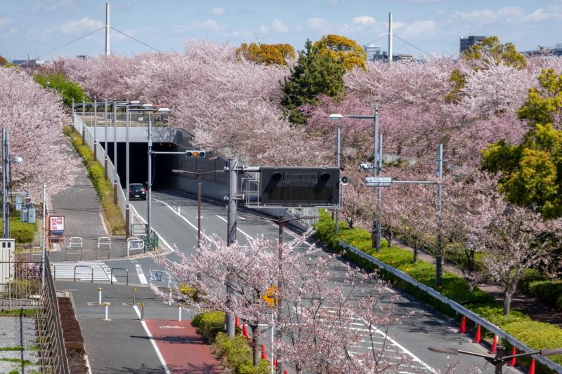 江戸川区の小松川千本桜