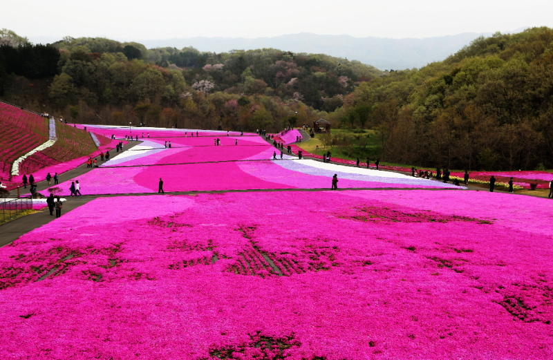 栃木県市貝町の芝桜